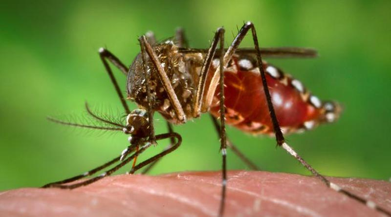 Dengue Mosquitoes