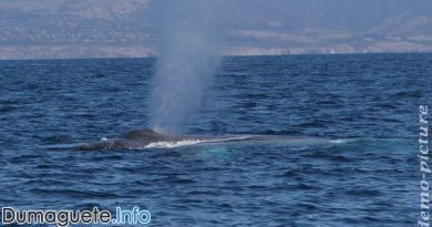 Blue Whale in Negros Oriental