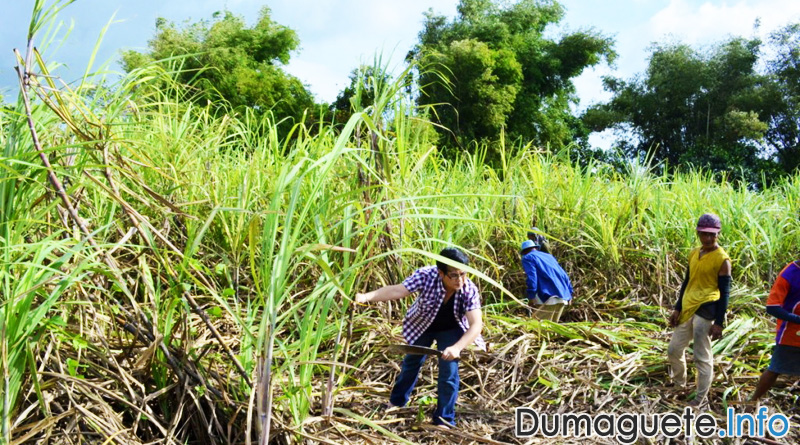 El Niño affects sugarcane quality