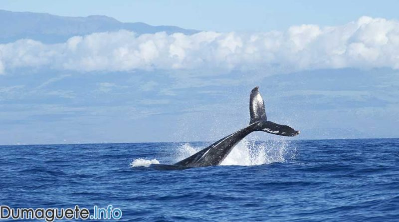 Blue-Whale-study-here-in-Dumaguete