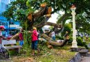 Century Old Acacia Trees - Cut or Pruned